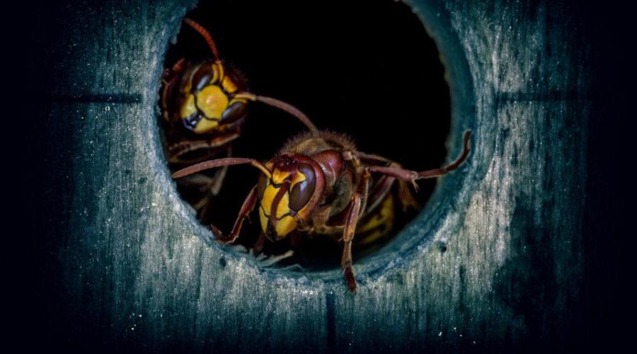Eine Hornissenfalle kann man einfach selber bauen