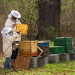 Bienenflucht in wenigen Schritten einlegen