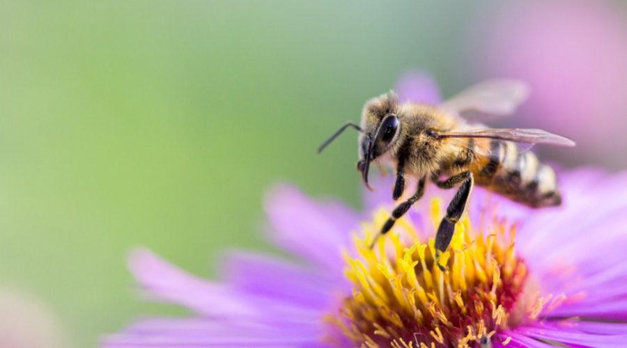 Bienenhonig von Bienen hergestellt