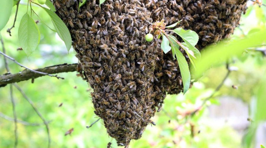 Bienenschwarm in einem Baum