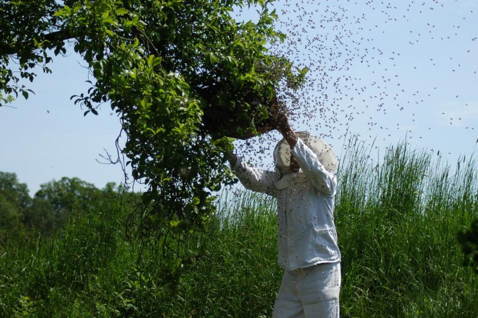 Bienenschwarm anlocken