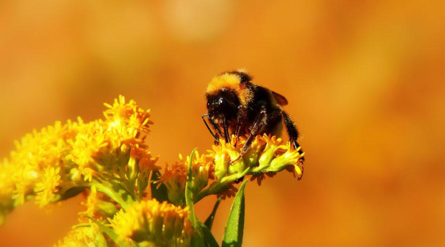 Biene auf Blume - Honig verkaufen