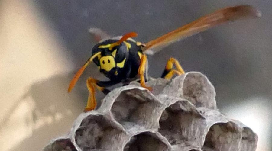 Hornissen Imker Warnung
