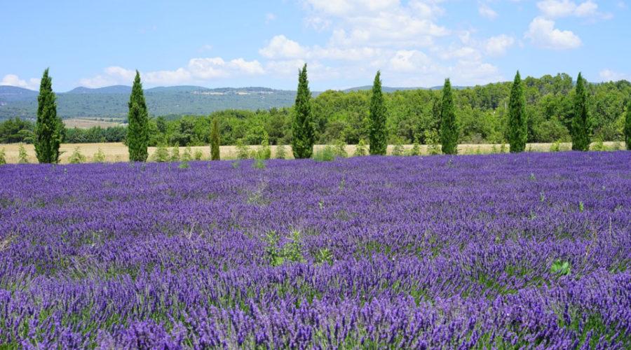 Lavendelhonig selber machen Landschaft