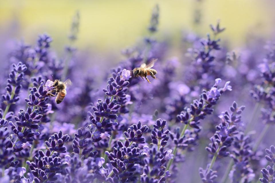 Lavendelhonig selber machen