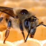 Varroagitter kann gegen die Varroamilbe eingesetzt werden