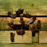 Wespen im Bienenstock