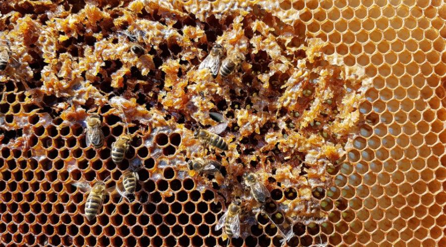 wabenhonig essen vom bienenstock