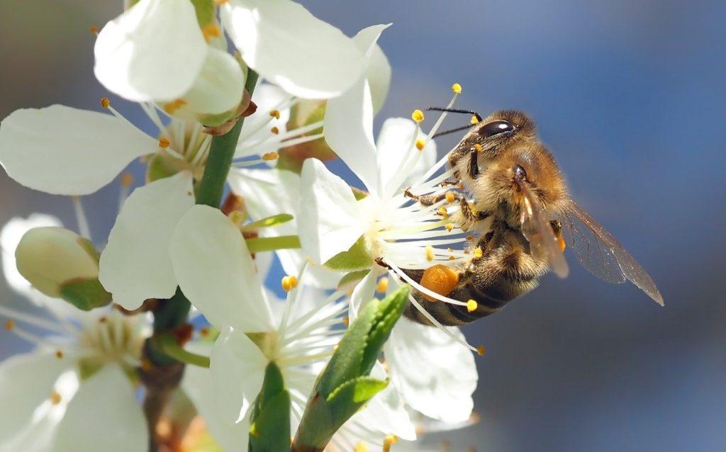 Bienengift