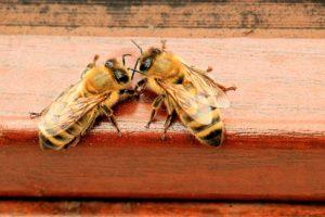 Bienen lassen sich auch auf dem Balkon halten.