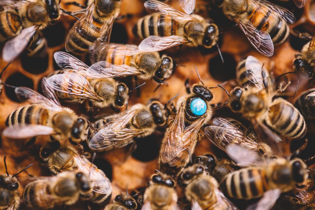 Die Bienenkönigin hält das Bienenvolk zusammen.